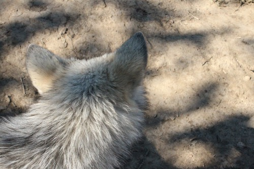 Fodder for another wolf embroidery?
