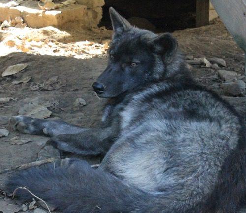black wolf elusive