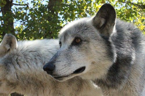 wolf gaze of wisdom
