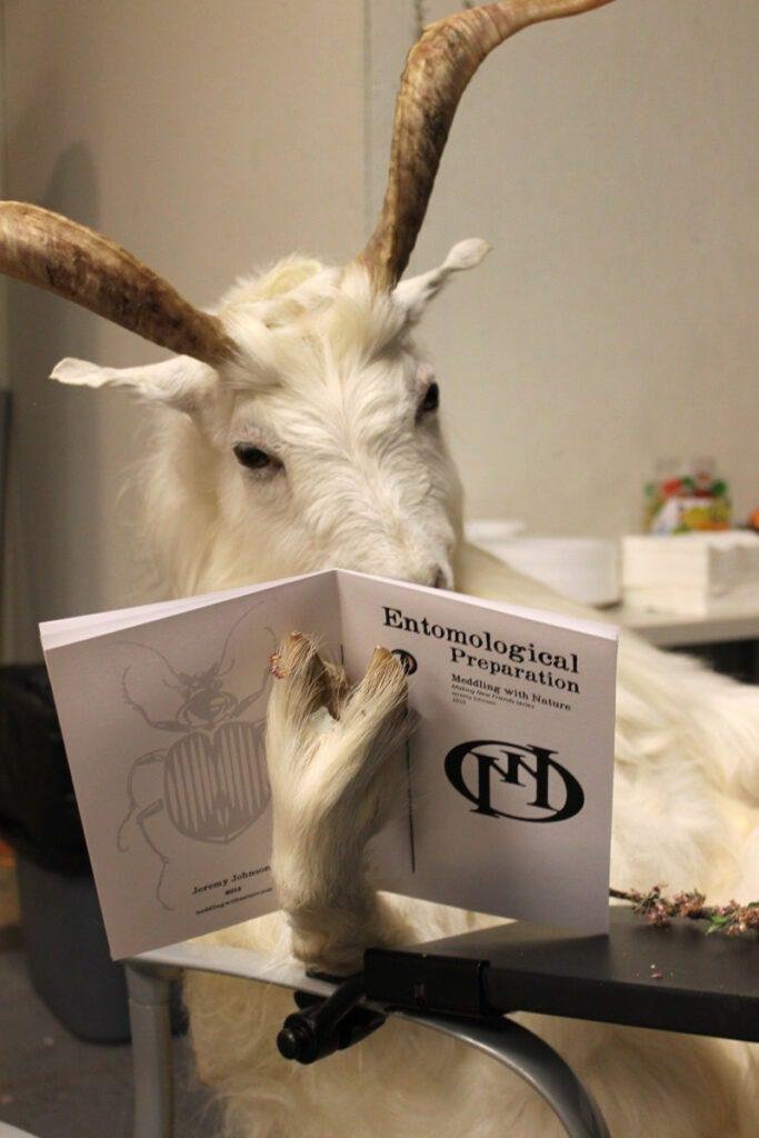 goat reading