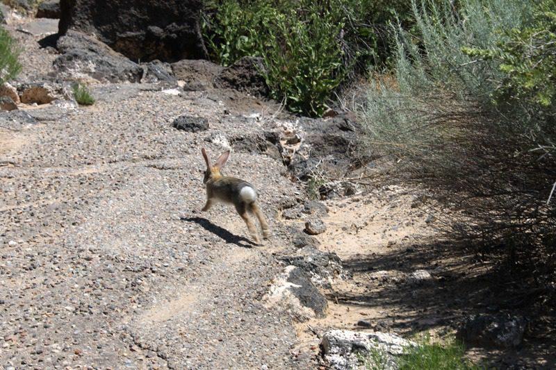 glyph hare